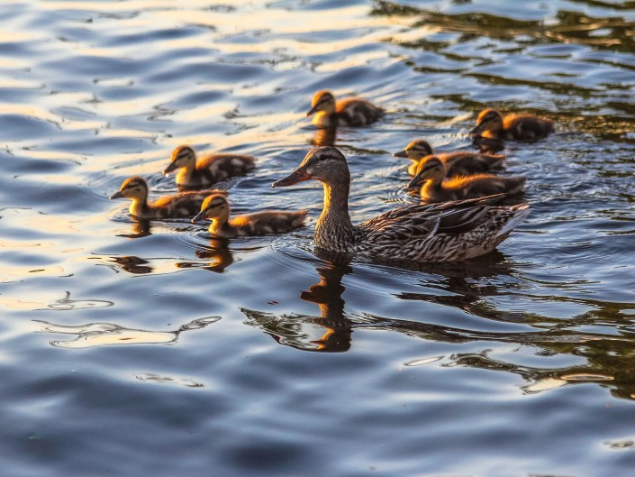 Duck Family, Lake Gogebic - Marenisco, Michigan
