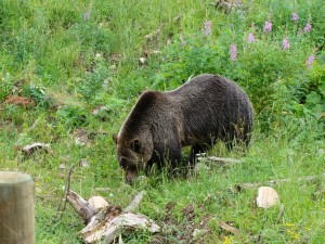 Boo Grizzly Bear - Golden, British Columbia