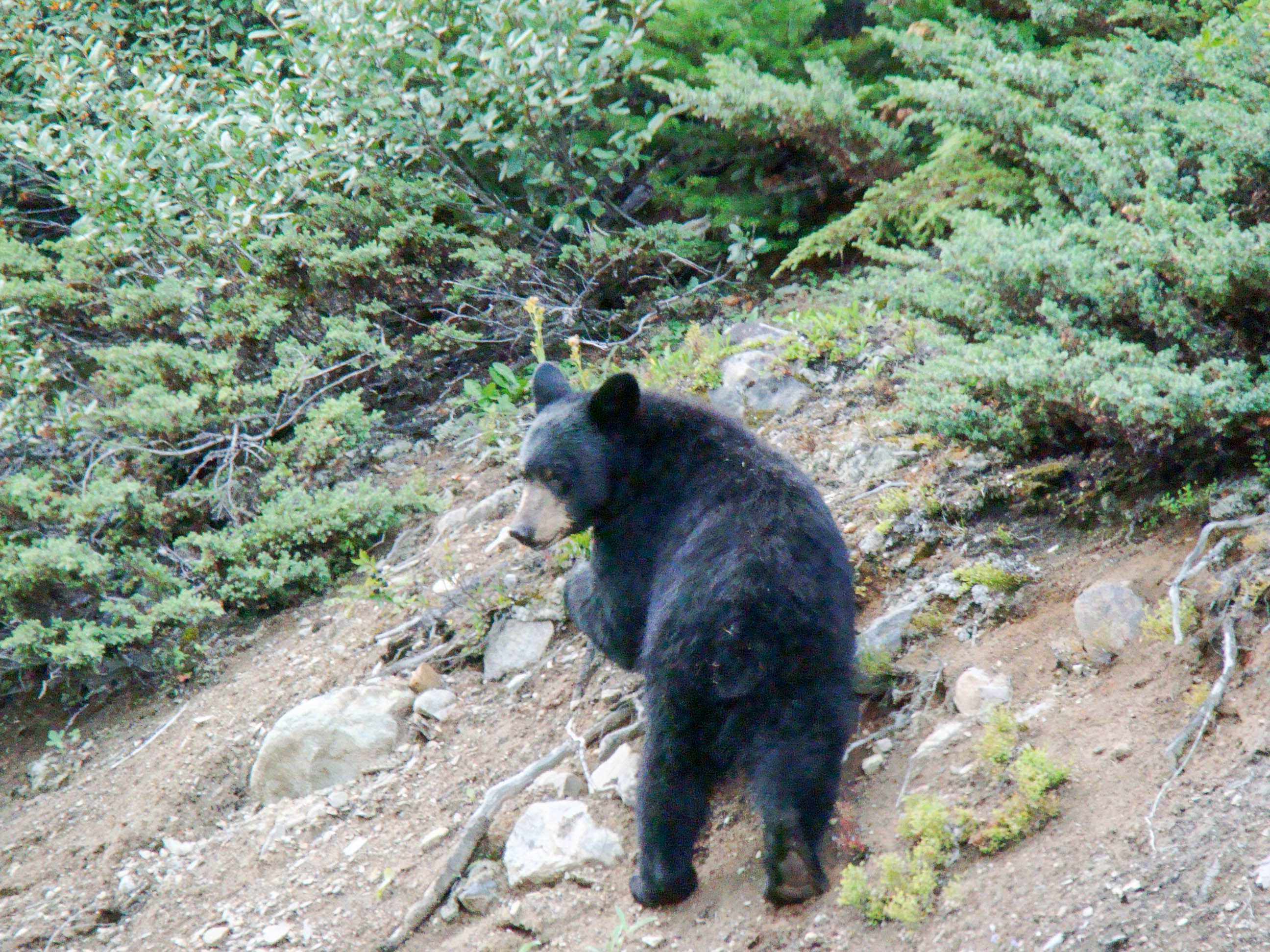 Black Bear - Banff National Park