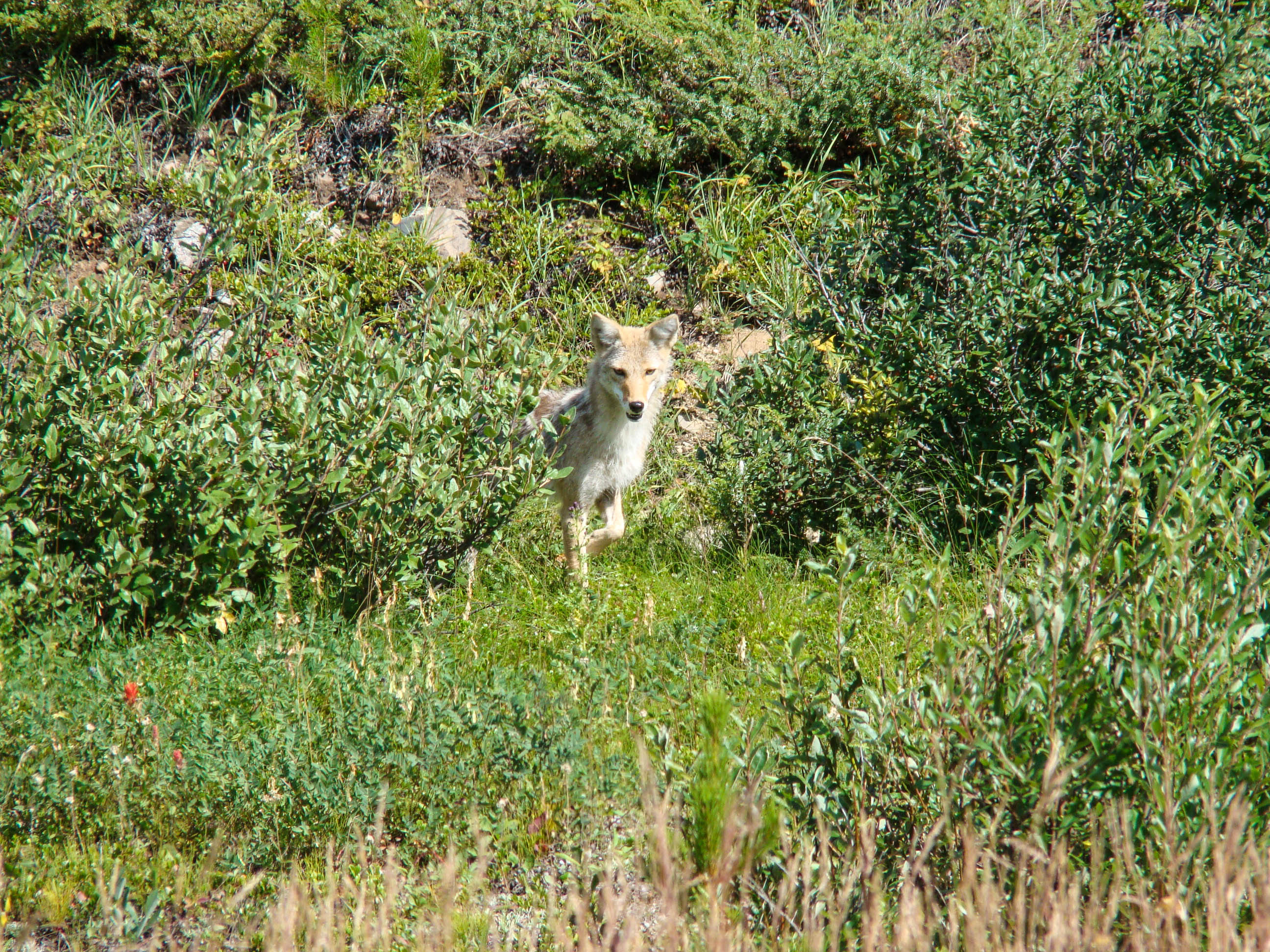 Coyote - Banff National Park
