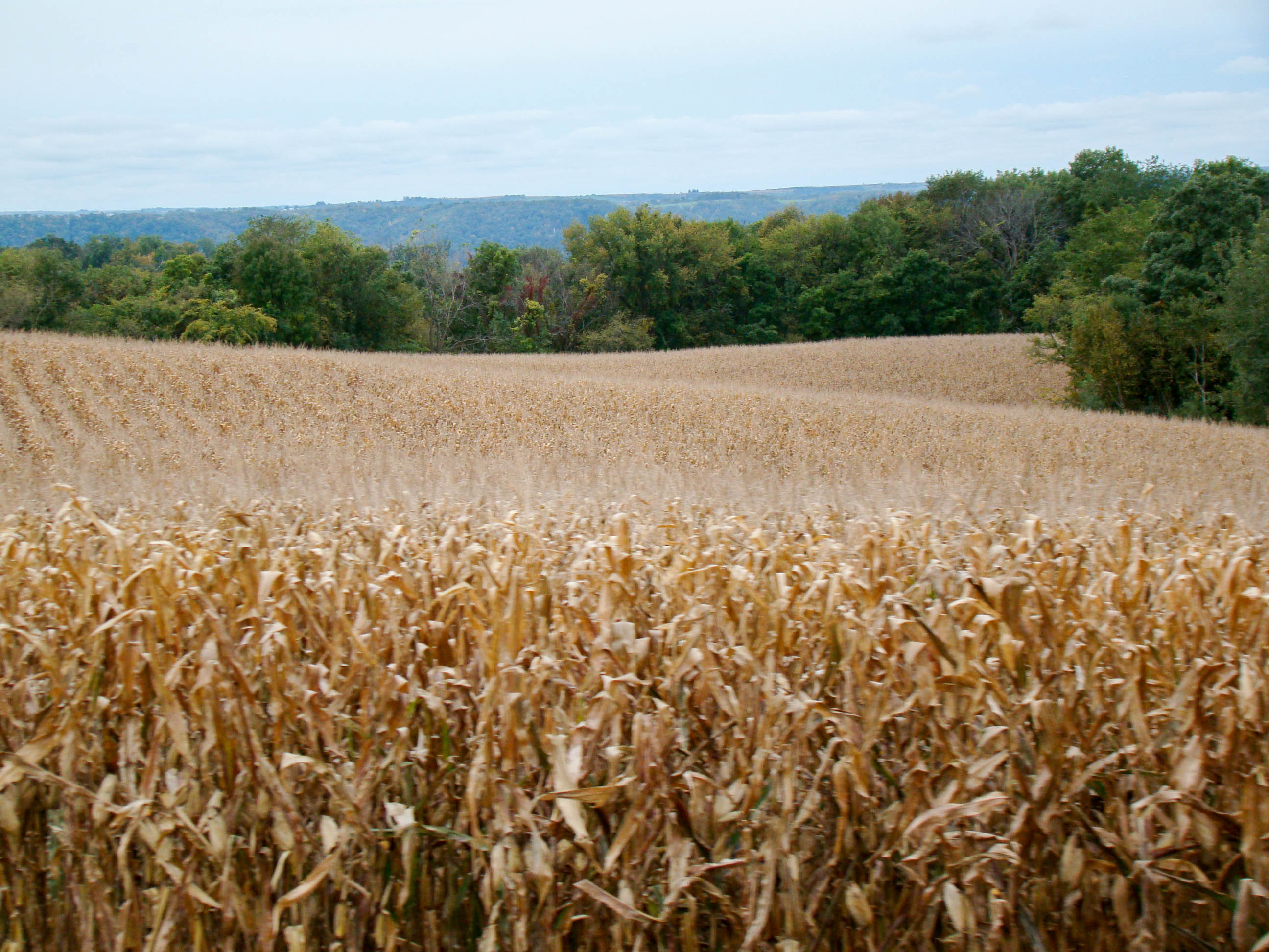 Corn Fields - De Soto, Wisconsin