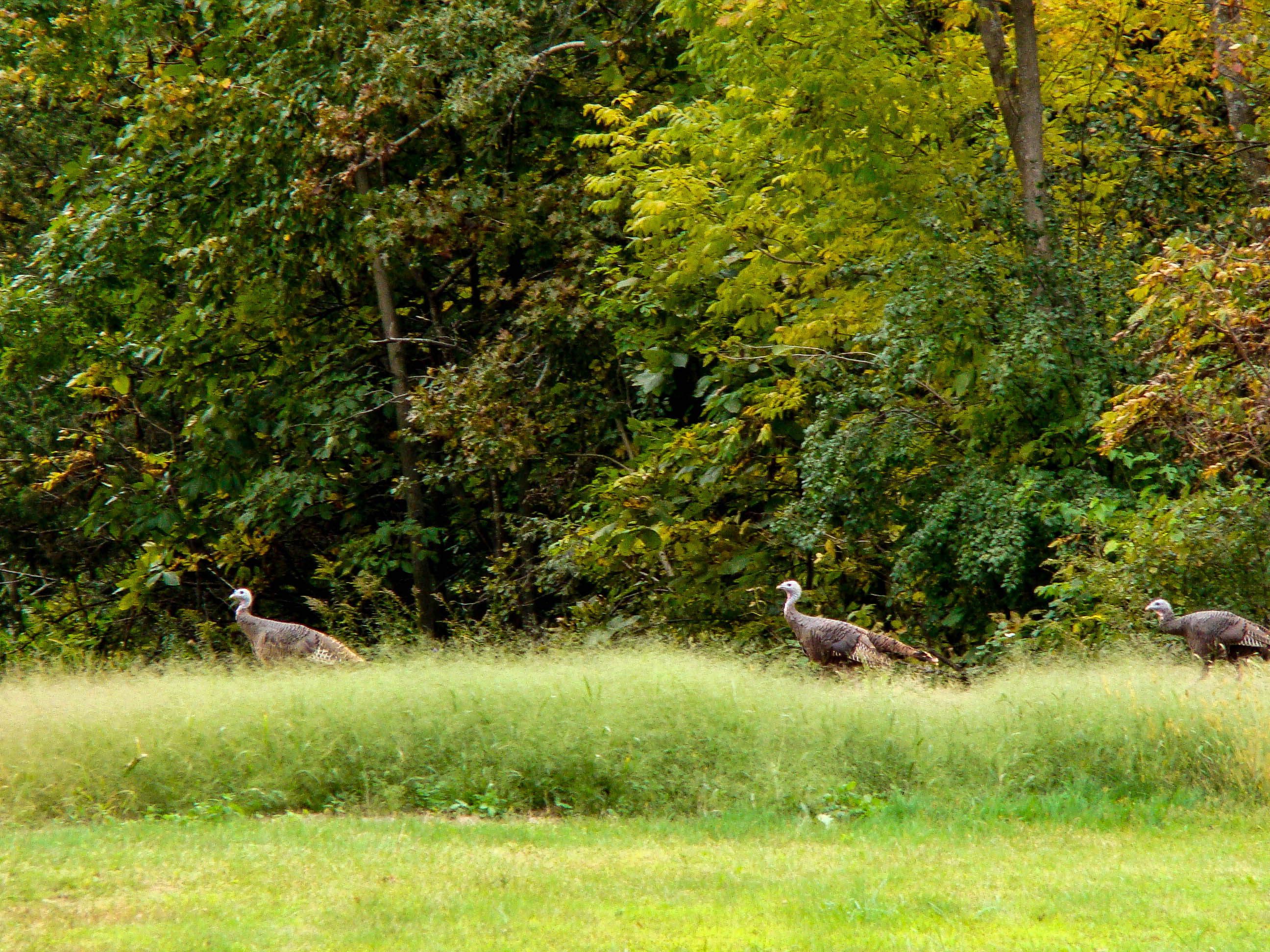 WIld Turkeys - De Soto, Wisconsin