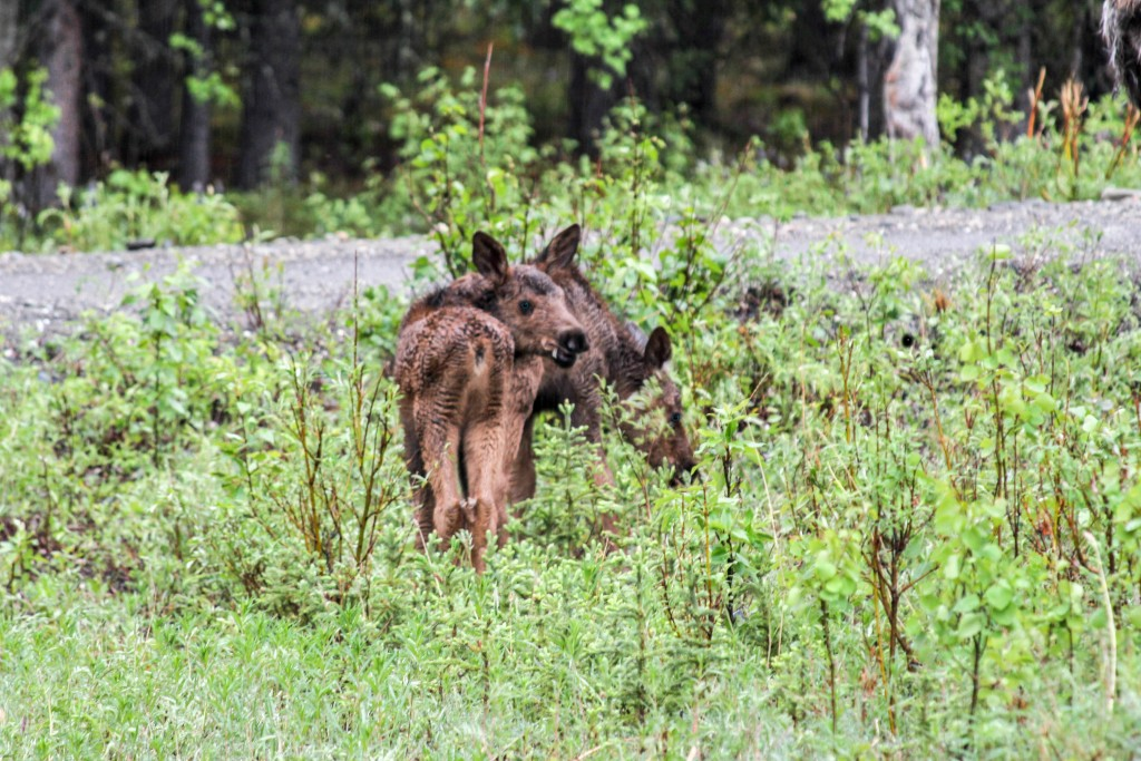 Baby Moose - Denali National Park - Alaska