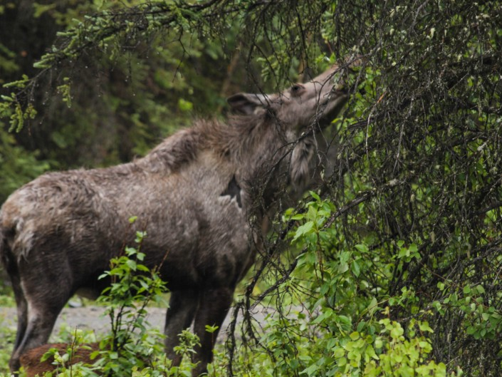 Momma Moose - Denali National Park - Alaska