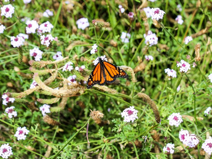 Monarch Butterfly - Ragged Point, California