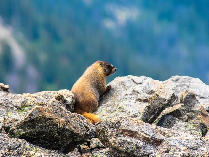 Marmot - Rocky Mountain National Park, Colorado