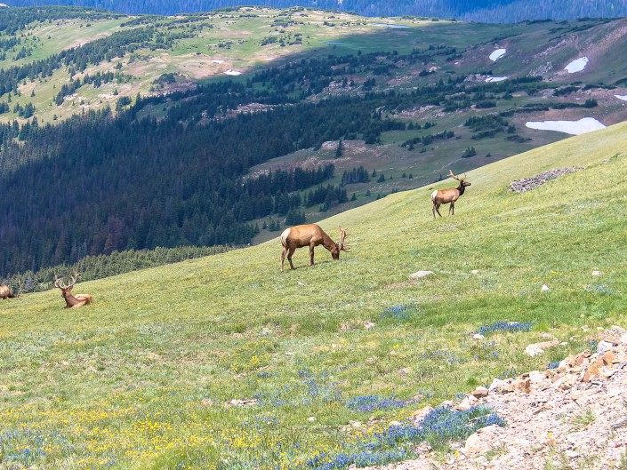 Grazing Elk - Rocky Mountain National Park, Colorado