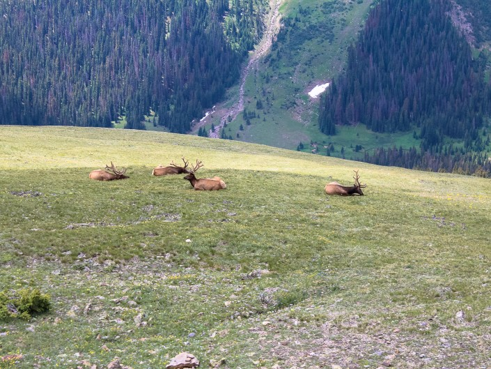Elk - Rocky Mountain National Park, Colorado
