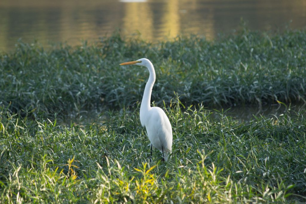 Egret - Mary Jane Thurston State Park
